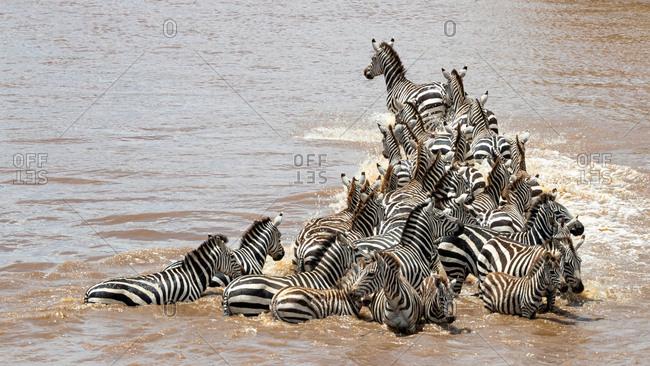 A herd of zebra cross the Mara River during the annual Great Migration in Masai Mara, Kenya