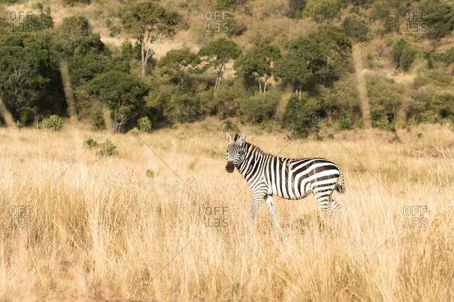 Plains zebra, or common zebra Equus Quagga, walking through the long grass of Masai Mara, Kenya
