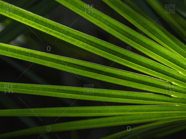Green palm frond - Offset Collection