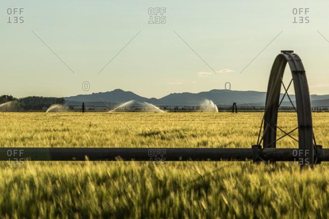 Irrigation in wheat field