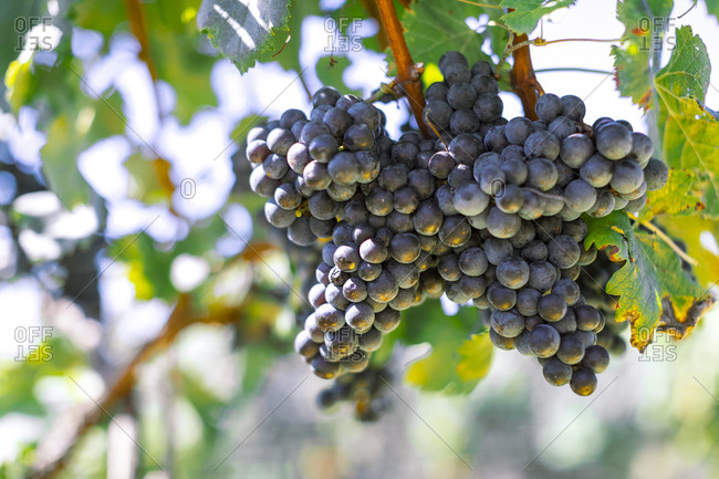 Bunches of grapes in vineyard