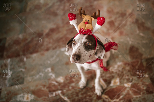 Dog dressed as reindeer with a festive headband on his head