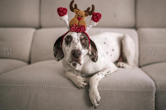 Reindeer dressed dog with festive headband sitting on a sofa
