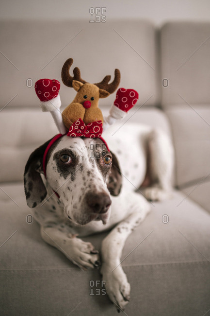 Close up of a reindeer dressed dog with festive headband sitting on a sofa