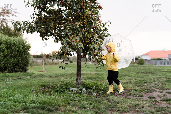 Young boy picking apples in the rain