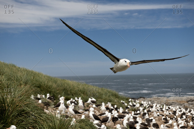 Seagull in flight while the rest of the flock relax on a beach.