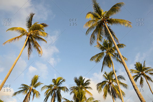 Low angle view of palm trees in a cloudy blue sky