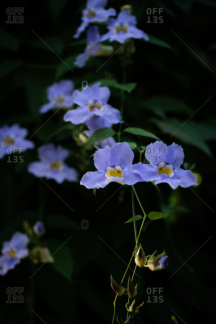 Small blue flowers blooming on a vine