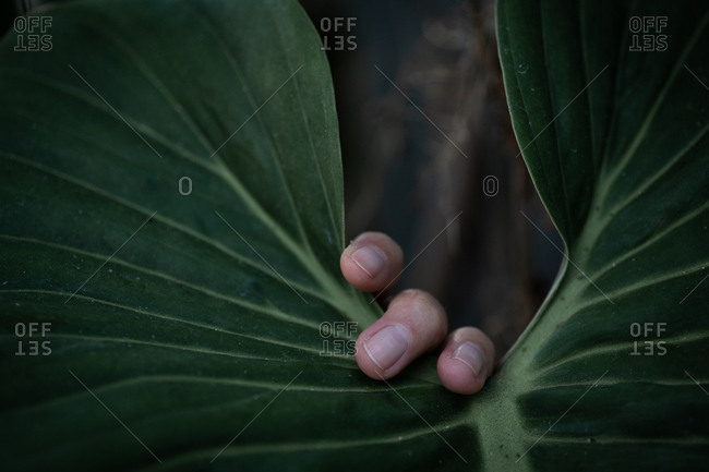 Fingers touching a large green leaf