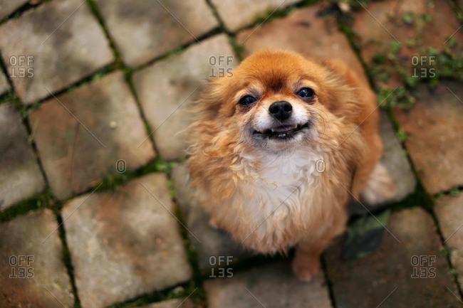 Chihuahua dog looking up a camera