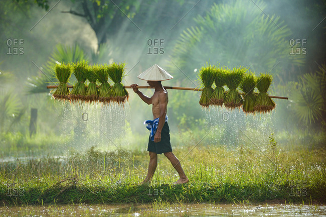 Man carrying rice plants in paddy field, Sakolnakh, Thailand