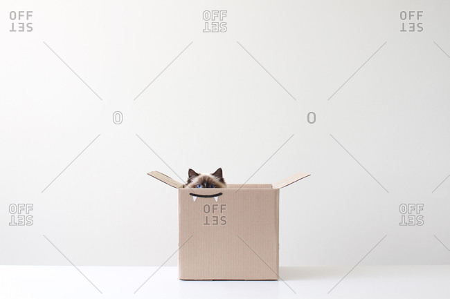 Ragdoll cat hiding in cardboard box with vampire teeth drawing