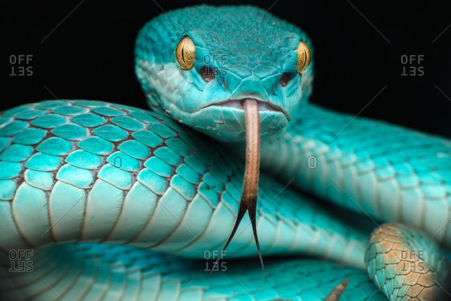 Close-up of Pit viper snake (Trimeresurus albolabris insularis), Indonesia
