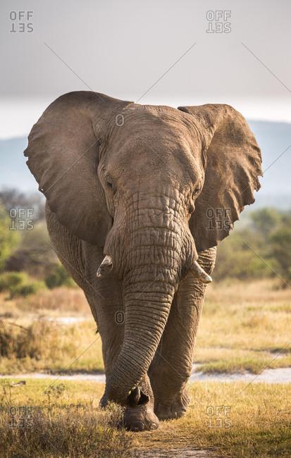 Portrait of a bull elephant, South Africa