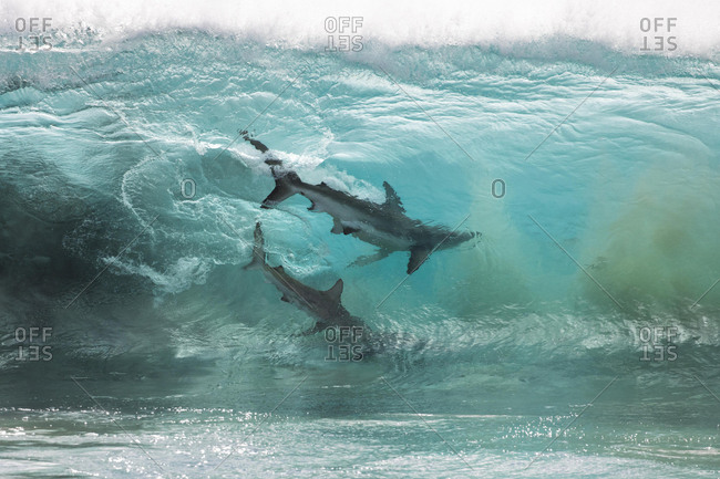 Sharks feeding on a bait ball in the breaking ocean waves, Carnarvon, Western Australia, Australia