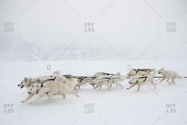 Pack of Alaskan Huskies pulling a dogsled, Canada