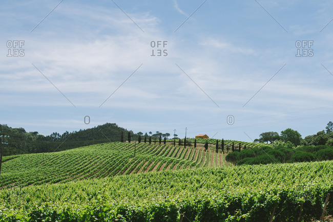 Beautiful vineyard in rural Portugal