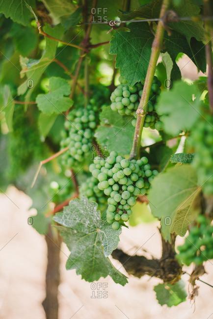 Close up of green grapes on a vine in rural Portugal