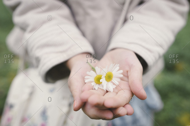 Little girl's hands holding two flowerheads of wearing Chamomil- close-up