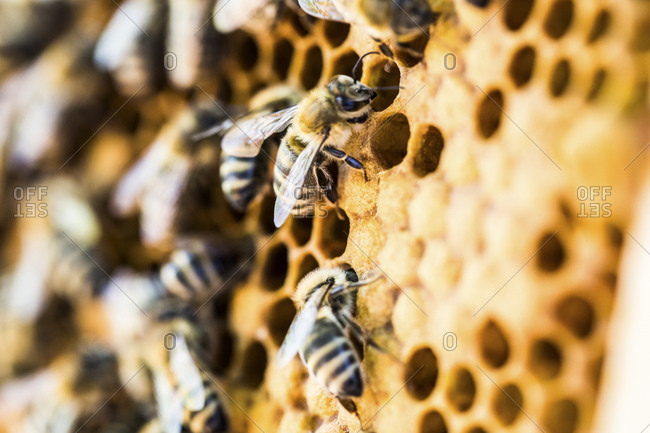 Close-up of bees on honeycomb