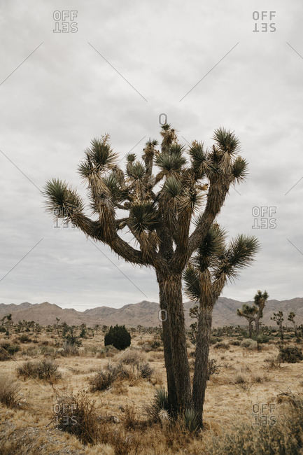 Joshua Tree in Joshua Tree National Park- California- USA