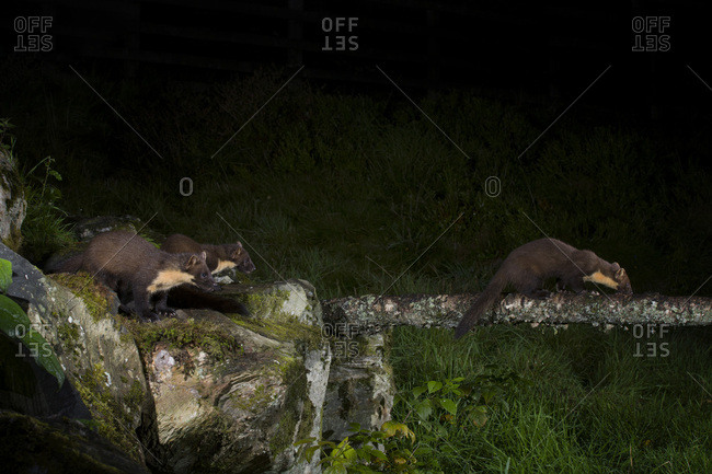 Three pine martens by night
