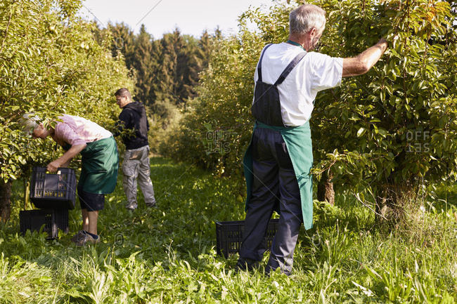 Organic farmers harvesting williams pears