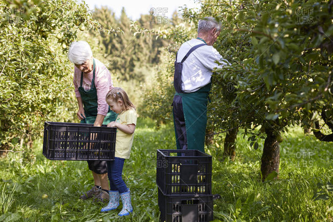 Girl harvesting organic williams pears- helping organic farmers