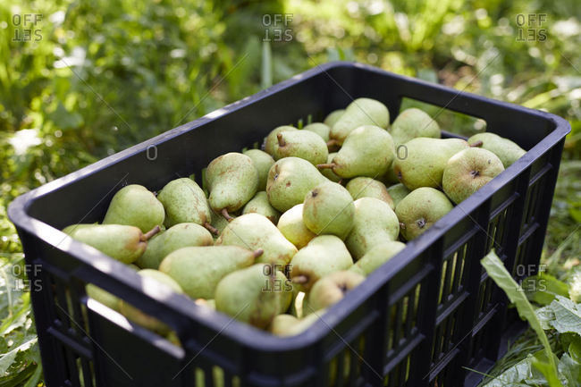 Fruit crate with williams pears