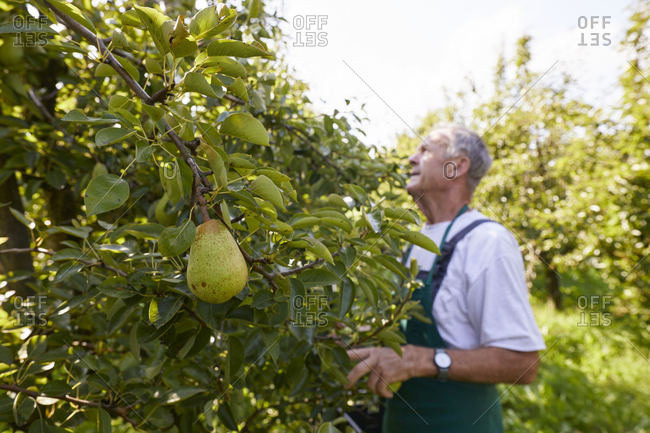 Organic farmer harvesting williams pears