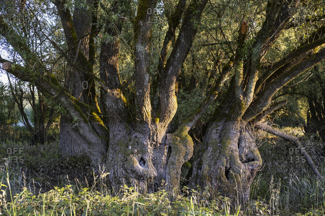 Old majestic tree growing in nature reserve