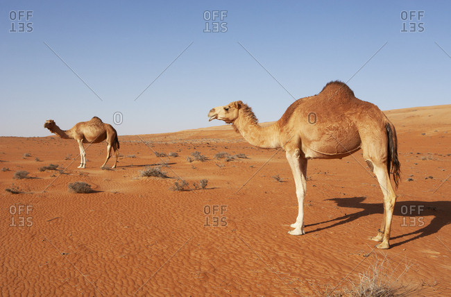 Dromedaries in Wahiba sands desert- Oman