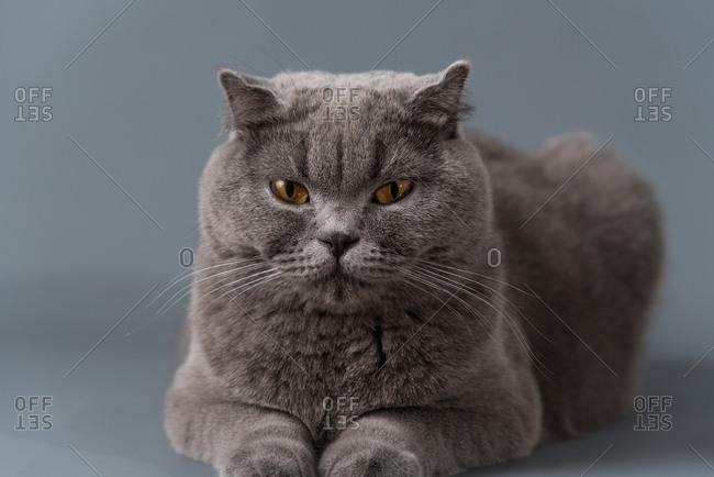 The short blue cat