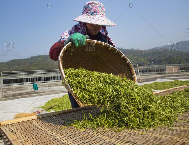 October 12, 2019: Gathering tea leaves, Fujian Province, China