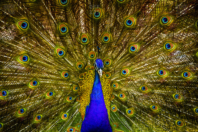 Peacock with open feathers - Offset