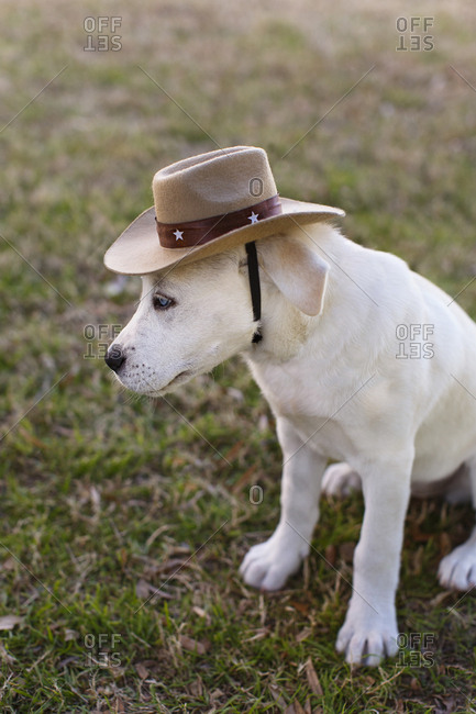 Labrador puppy in cowboy costume