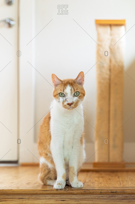 Cute bicolor tabby cat sitting in hallway