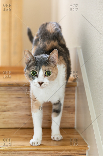 Calico kitten walking down stairs at home