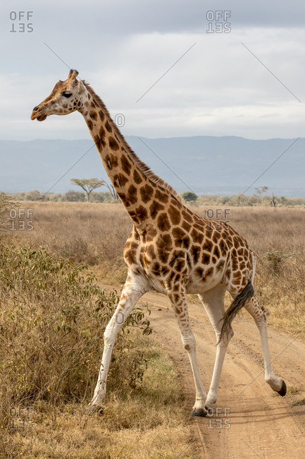 Rothschild?s giraffe, Giraffa camelopardalis rothschildi, running across a dirt road in Lake Nakuru National Park, Kenya. This species is endangered and decreasing in the wild.