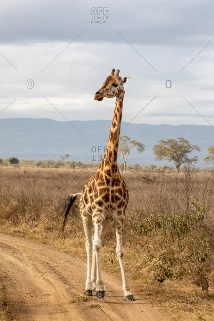 Rothschild?s giraffe, Giraffa camelopardalis rothschildi, running along a dirt road in Lake Nakuru National Park, Kenya. This species is endangered and decreasing in the wild.