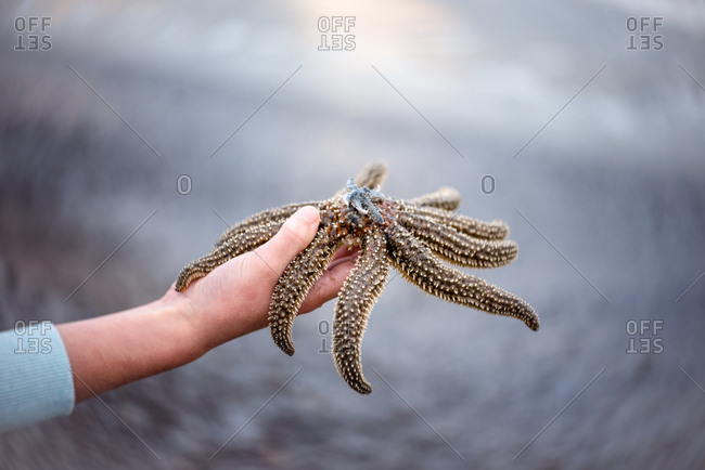 Hand holding large sea star