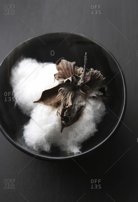 Fresh picked cotton bud in bowl