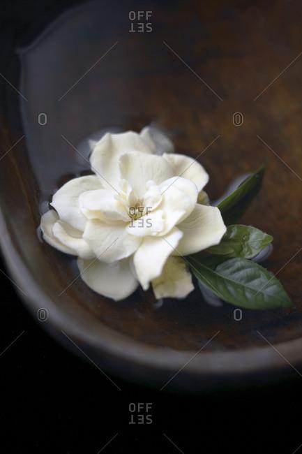 Gardenia flower floating in bowl of water
