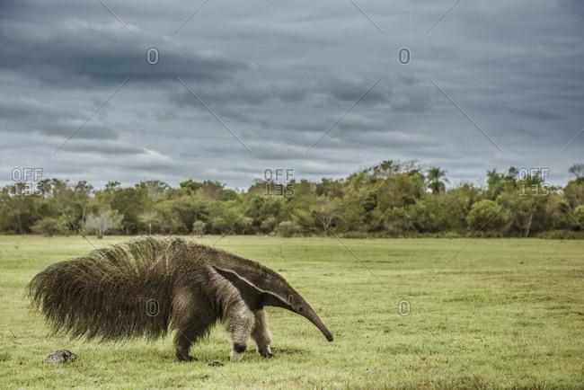 Giant anteater walking in Brazilian Pantanal wetland
