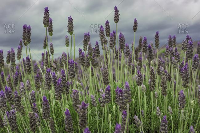 Lavender flowers in Brazilian fields