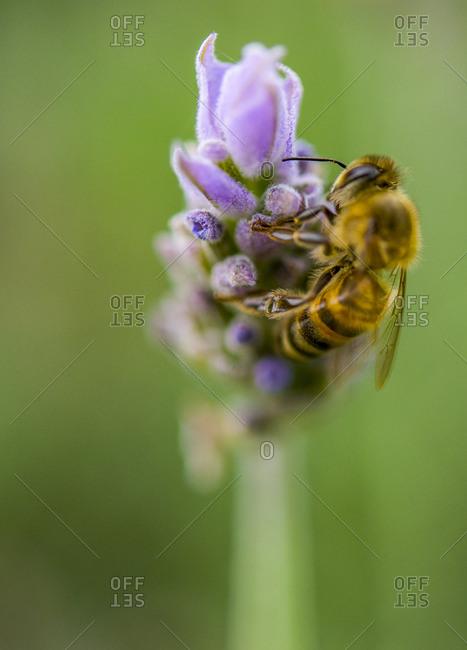 Bee landing on lavender flower