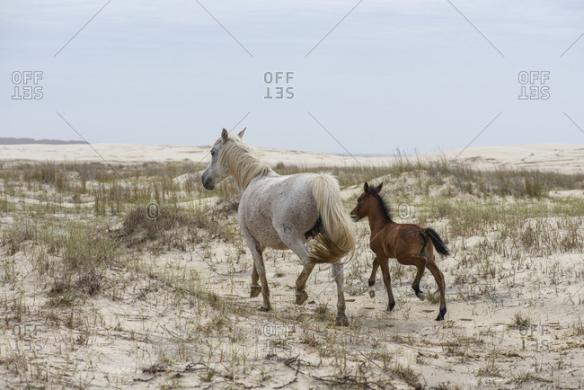 Horse and calf running in the beach dunes