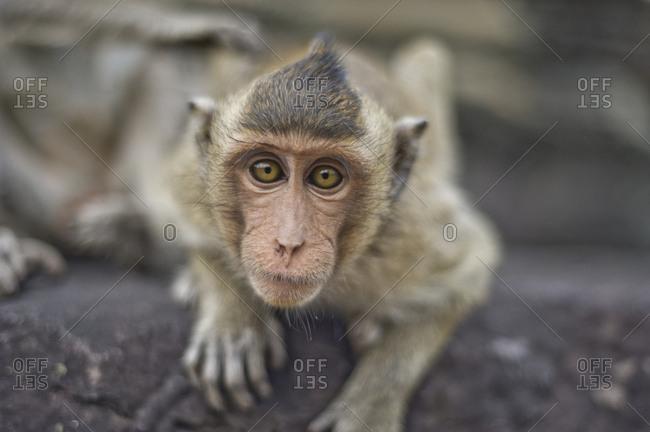 Monkey around Angkor Wat temple