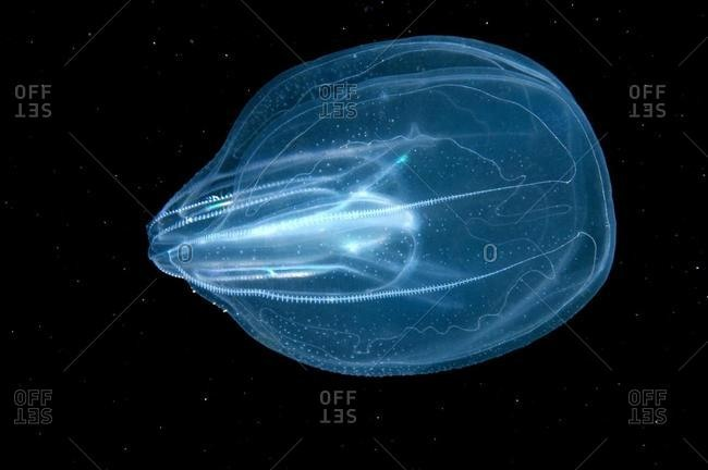 Warty Comb Jelly (Mnemiopsis leidyi), Black Sea, Crimea, Ukraine, Europe