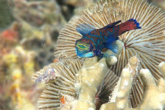 Mandarinfish or Mandarin Dragonet (Synchiropus splendidus), Bohol Sea, Cebu, Philippines, Asia